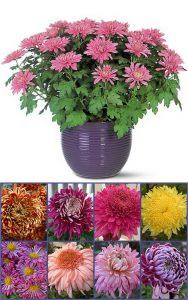 Chrysant - Chrysanthemum