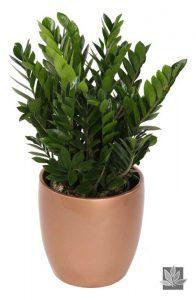 Zamioculcas Zamiifolia - ZZ