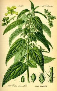 eetbare wilde planten Brandnetel Urtica dioica