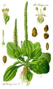 eetbare wilde planten weegbree