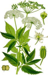 eetbare wilde planten zevenblad
